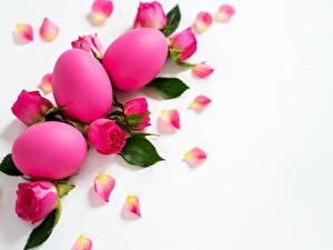 Bilder Rosen Ostern Weißer hintergrund Rosa Farbe Blumen