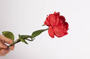 Fotos Rosen Finger Weißer hintergrund Rot Blumen