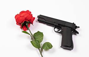 Images Roses Pistols White background Red flower