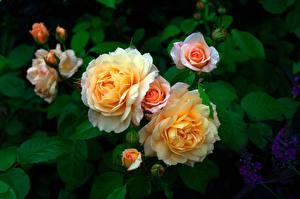 Bakgrunnsbilder Rosa Busker Blomster