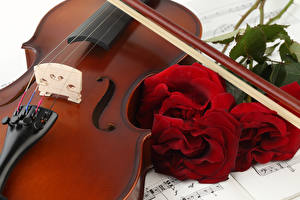 Bilder Rose Violine Bordeauxrot Blüte