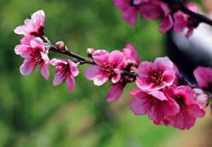 Image Spring Flowering trees Branches Pink color Sakura flower
