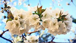Pictures Spring Flowering trees Branches Sakura Nature