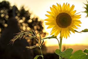 Pictures Helianthus Blurred background Yellow flower