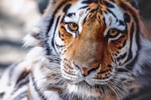Fotos Tiger Nase Schnauze Blick