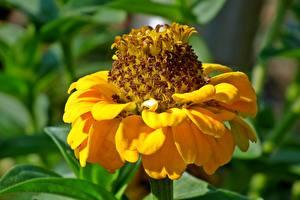 Bilder Zinnien Großansicht Gelb Blumen