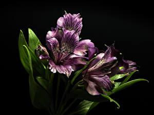 Fotos Alstroemeria Großansicht Schwarzer Hintergrund Violett