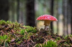 Photo Amanita Mushrooms nature Closeup Moss