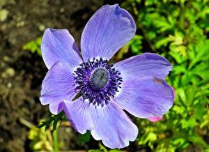 Fotos Anemone Nahaufnahme Violett Blumen