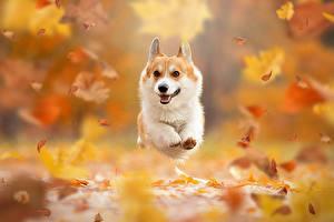 Images Autumn Dogs Leaf Run Welsh Corgi Bokeh animal