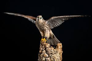 Fonds d'écran Oiseau Aile European Kestrel Animaux