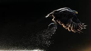 Picture Birds Fishing Eagles Flight Hunting Bald Eagle Water splash
