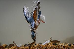 Bakgrunnsbilder Fugler Fiske Vann Undervannsverdenen Isfugl En fisk Jakten Dyr