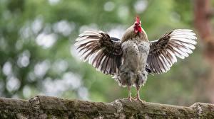 Fonds d'écran Oiseau Coq Aile Posant un animal