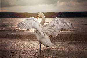 Fonds d'écran Oiseau Cygnes Aile un animal