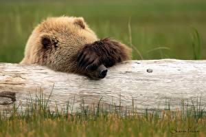 Hintergrundbilder Bären Braunbär Pfote Lustiger Holzstamm ein Tier