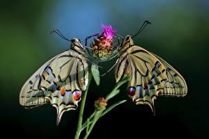 Fotos & Bilder Schmetterlinge Bokeh Zwei Papilio machaon Tiere
