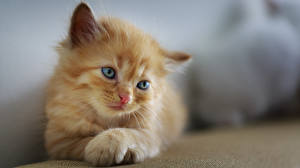 Papel de Parede Desktop Gato Fundo desfocado Gatinhos Ver Pata Ruivo Bonitinho um animal