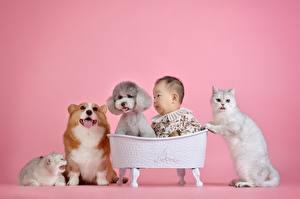 Hintergrundbilder Katze Hunde Asiatische Welsh Corgi Pudel Säugling Rosa Hintergrund kind