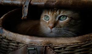 Bilder Hauskatze Blick Weidenkorb ein Tier