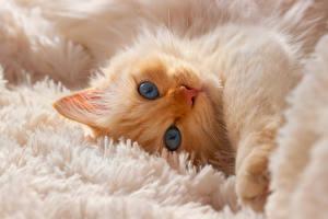 Hintergrundbilder Katze Kätzchen Schnauze Blick