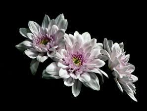 Hintergrundbilder Chrysanthemen Schwarzer Hintergrund Drei 3 Weiß Blüte