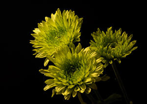 Обои Хризантемы Черный фон Втроем Салатовые цветок