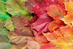 Фото Вблизи Осень Листья Клёновый Природа
