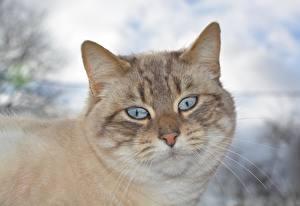 Bilder Großansicht Katze Kopf Starren Schnurrhaare Vibrisse Schnauze ein Tier