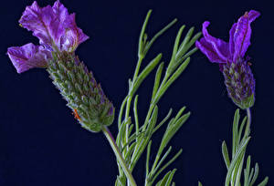 Bakgrundsbilder på skrivbordet Närbild Lavendlar Två 2 Lila färg blomma