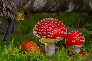 Pictures Closeup Mushrooms nature Amanita Moss