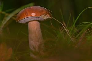 Hintergrundbilder Großansicht Pilze Natur Gemeiner Steinpilz