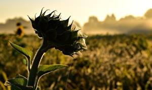 Hintergrundbilder Hautnah Sonnenblumen Spinnennetz