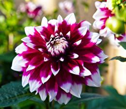 Tapety na pulpit Dalie Zbliżenie Kwiaty