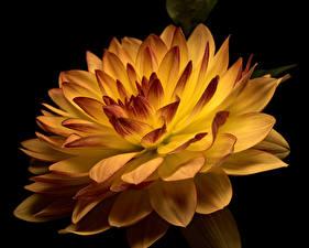 Hintergrundbilder Dahlien Großansicht Schwarzer Hintergrund Blüte