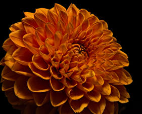 Photo Dahlias Closeup Black background Orange Flowers