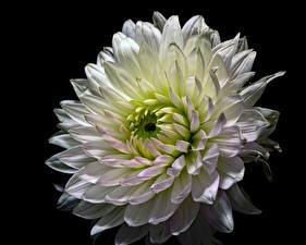 Bilder Dahlien Hautnah Schwarzer Hintergrund Weiß Blumen