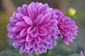 Photo Dahlias Closeup Pink color Flowers