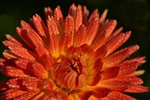 Tapety na pulpit Dalia Z bliska Czerwony Kropli kwiat