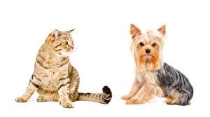 Hintergrundbilder Hunde Katze Weißer hintergrund Yorkshire Terrier 2 ein Tier
