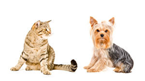 Image Dogs Cats White background Yorkshire terrier 2 animal