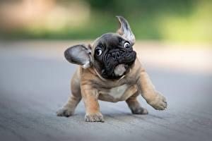 Bilder Hund Komische Bulldogge Welpen Unscharfer Hintergrund