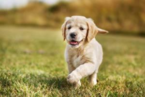 Fotos Hunde Golden Retriever Welpe Gras