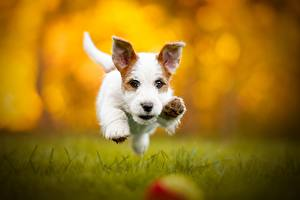 Images Dogs Running Bokeh Jack Russell terrier animal