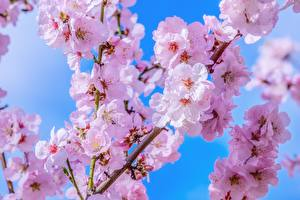 Wallpapers Flowering trees Sakura Branches Flowers
