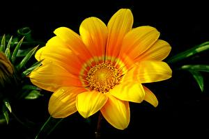 Wallpapers Gazania Closeup Yellow Flowers