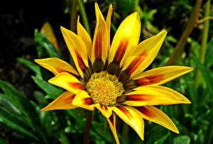 Wallpaper Gazania Closeup Yellow Flowers