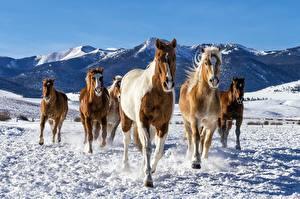 Pictures Horse Run Snow Animals