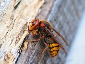 Fotos Insekten Nahaufnahme Makrofotografie Wespen Tiere