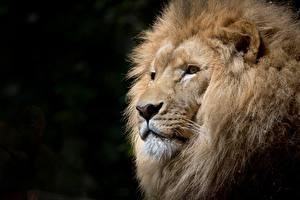 Hintergrundbilder Löwen Nahaufnahme Schwarzer Hintergrund Kopf Blick Schnauze
